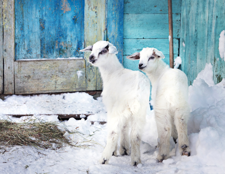 Baby Goats in Winter
