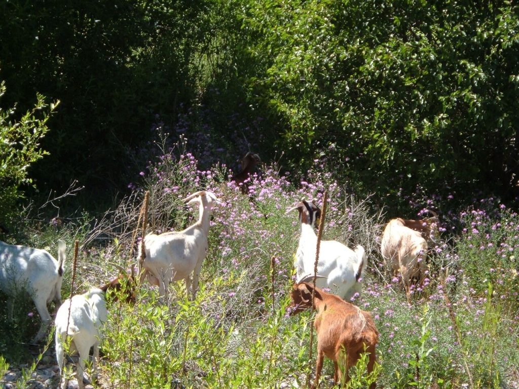weed-eating-goats