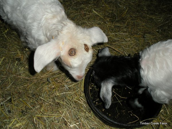 how-to-dehorn-a-goat