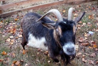How to Dehorn a Goat: Early Disbudding