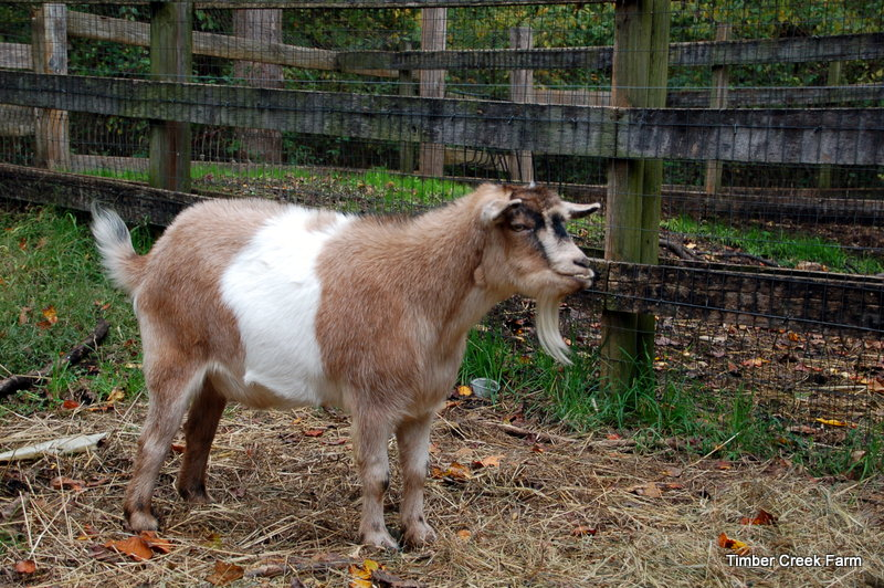 goat-reproduction