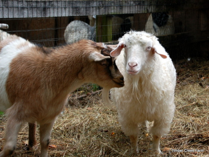 The Smelly Truth About Goat Reproduction