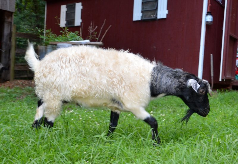 differences-between-goats-and-sheep