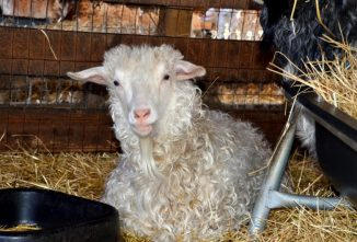 Shearing the Pygora Goat for Mohair Fiber Collection