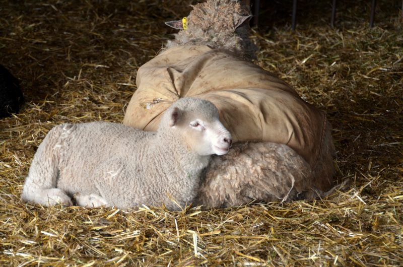 difference-between-goats-and-sheep