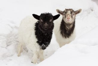 Kat's Caprine Corner: Freezing Goats and Winter Coats