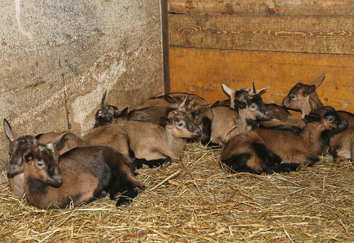 coccidiosis-in-goats