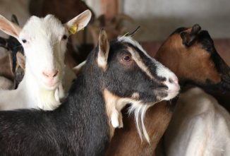 Breeding Resistance to Scrapie in Goats