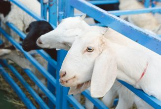 10 Signs of Goat Heat