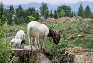 Training Brush Goats for Hire