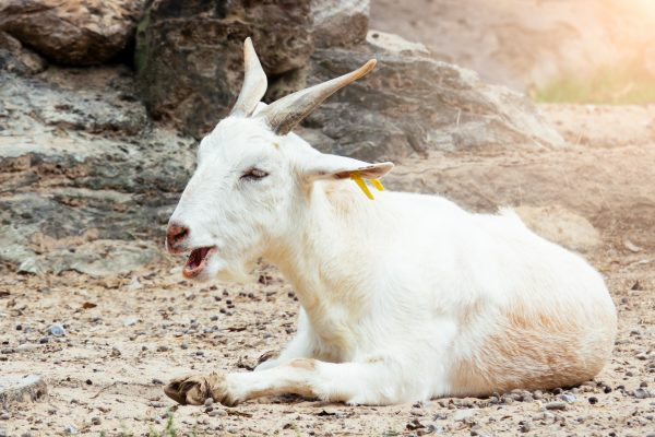 Goat Varieties for Hot Climates