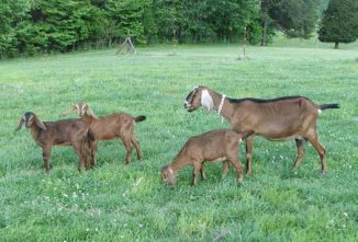 Goats, Sheep And Deer Worm