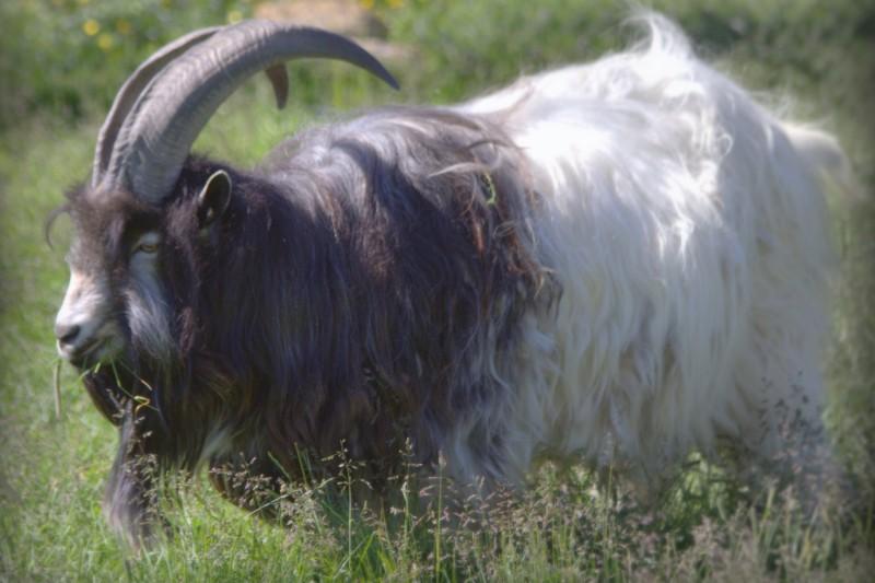 icelandic-goat