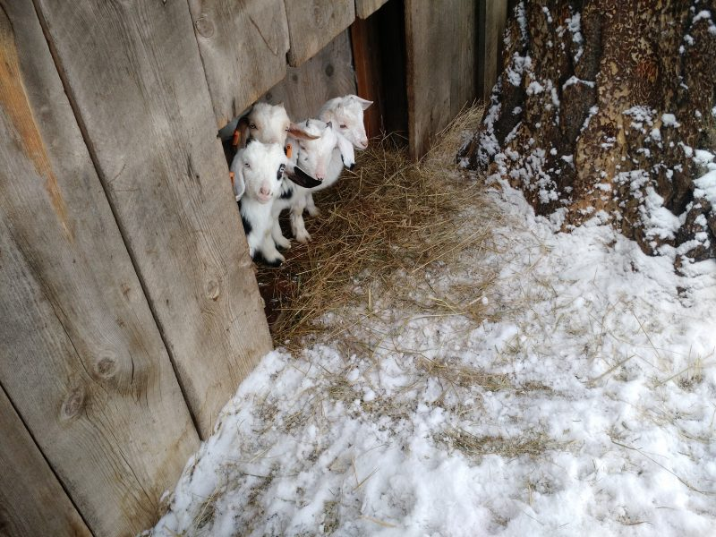 how-to-keep-goats-warm-in-cold-weather