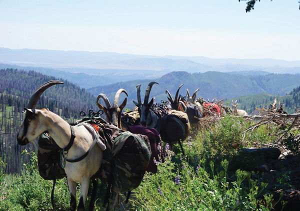 Pack Goats: Packing Quite a Kick!