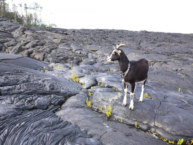 Goat with The Flow – Enthusiasts Rescue Goats From a Volcano