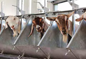 Milking Dairy Goats