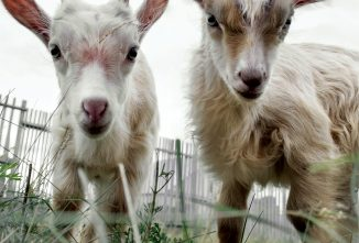 Coccidiosis in Goats: A Kid Killer