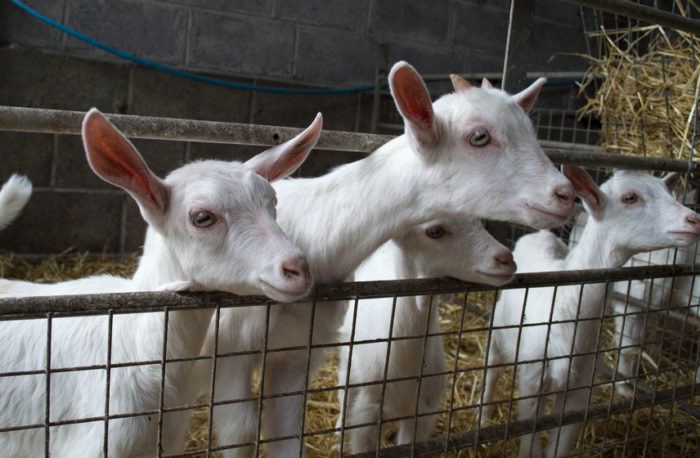 Getting Started With the Best Goats for Milk