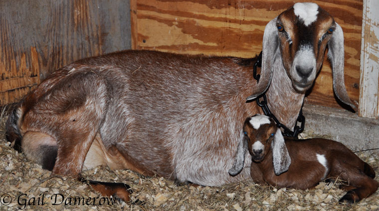 10 Ways To Recognize Goat Labor Signs