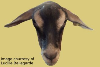 goat-image-facial-expression