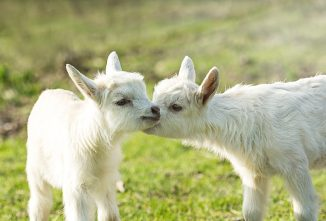 Goat Kid Milk Replacer: Know Before You Buy