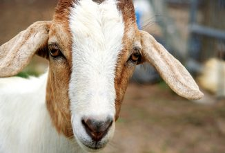 A Guide to Eye Problems and Eye Infections in Goats