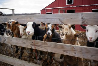 Goat Shelter Options for Your Herd