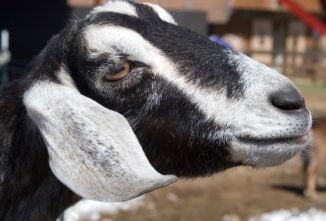 Build Your Own Small-Scale Goat Milking Machine