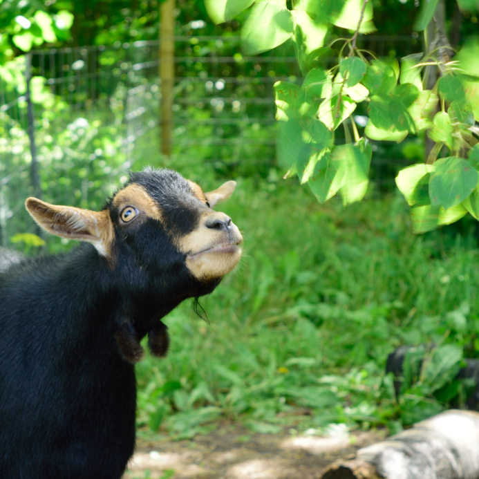 All About Goat Wattles
