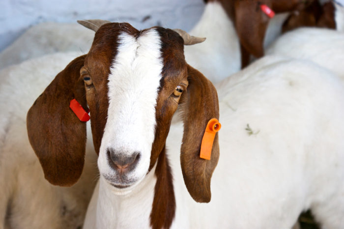 Getting Started with Meat Goat Farming