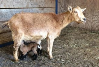 Increase Return on Your Dairy Goat Investment