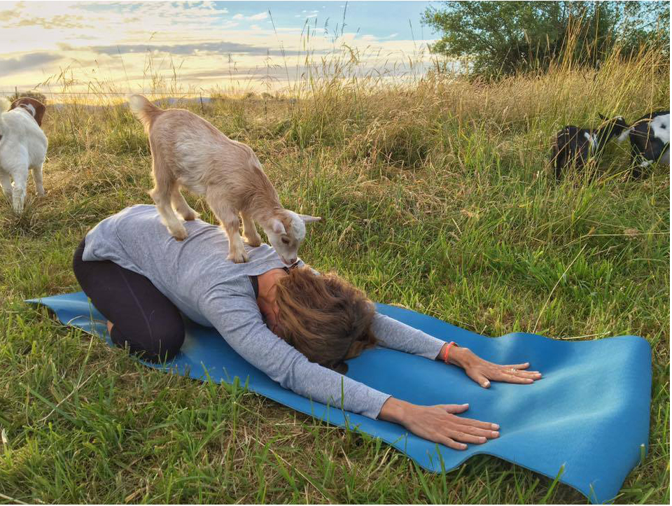Have You Tried Goat Yoga?