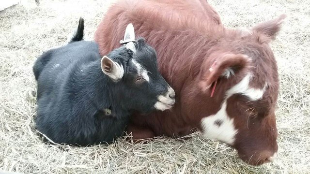 A Blind Calf and Her Guide Goat