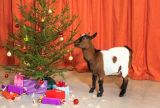 Can Goats Eat Christmas Trees? and More Questions About Goat Health