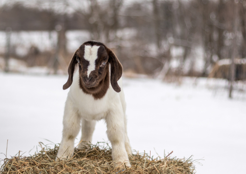 Raising Baby Goats In Cold Weather