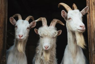 Kat's Corner: Dehorning Goats and Trail First Aid