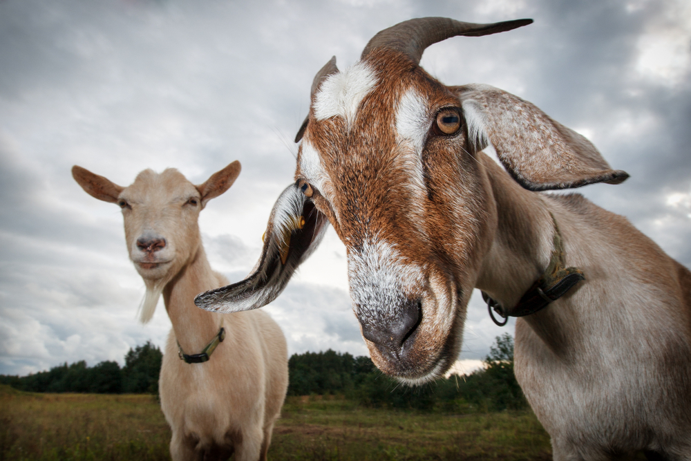 Kat's Corner: Ear Tattoos and Sore Mouth in Goats