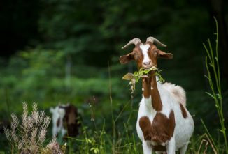 How to Treat Goat Diseases and Illnesses Naturally
