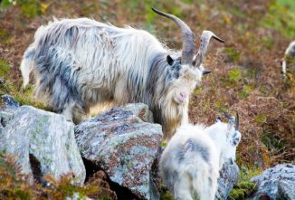 Feral Goats: Their Lives and Loves