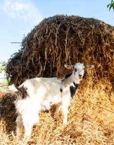 listeriosis-in-goats