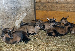 Lice in Goats