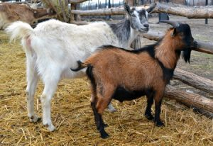 Udderpox in Goats