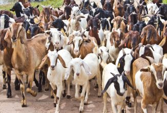 What to Do with All Those Buckling Goats!