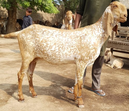 The Goat Competitions of Pakistan