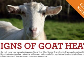 Signs of Goat Heat