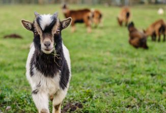 Finding the Balance: Maintaining Health with Goat Minerals