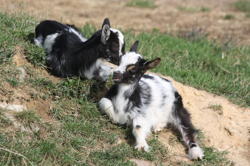 goats-resting-ruminating-safely