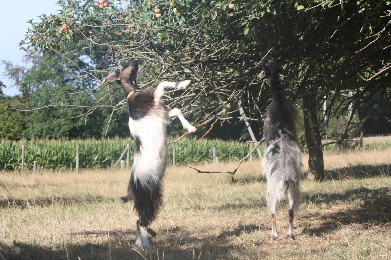 goats-browsing-trees
