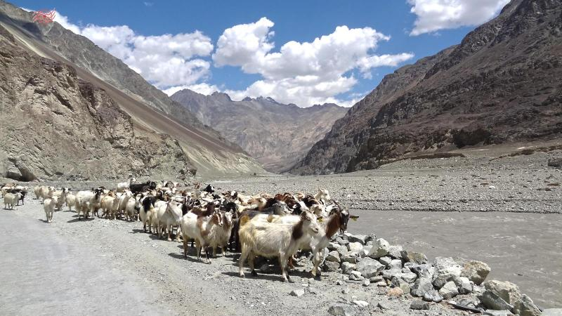 changthangi-herd-in-dry-valley